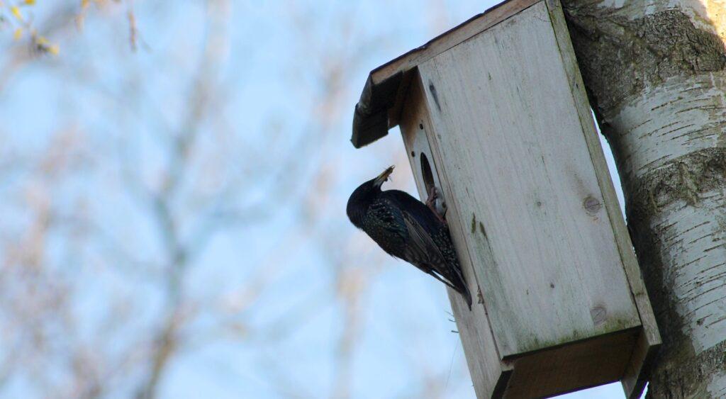 Fuglekasse med stær